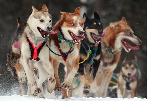 Iditarod Sled Dog Race